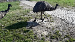 Familie Emu geht spazieren, Foto: Straußenfarm Burkhardt